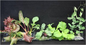 Crops tested in Vegetable Production System (Veggie) plant pillows (pictured here) include lettuce, Swiss chard, radishes, Chinese cabbage and peas. (NASA)