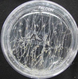 Thale cress (Arabidopsis thaliana) seedlings. (NASA)