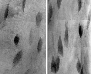 Osteocyte lacunae from the ground-based control (left) and after 15 days of spaceflight (right). Space-flown lacunae appear larger, indicative of osteocytic remodeling. (Blaber, et al, PLoS One, 2013)
