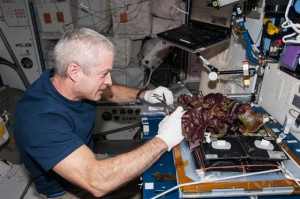 Aboard the International Space Station, NASA astronaut Steve Swanson, Expedition 40 commander, harvests a crop of red romaine lettuce plants that were grown from seed inside the station's Veggie facility. Such food production capabilities may provide for better nutrient options during long duration missions. (NASA)