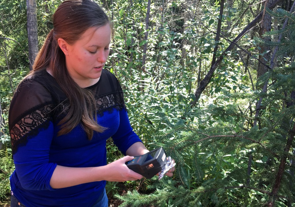 ABoVE Fairbanks logistics coordinator Sarah Sackett not only provides safety and logistics support to researchers in the field, she ventures out to collect data for scientists as well. Here, she demonstrates how to measure photosynthesis in spruce needles. Credit: NASA/Kate Ramsayer