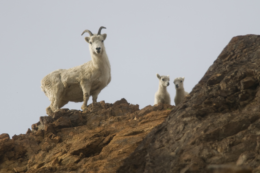 Dall sheep—an iconic species in Denali National Park—are the subject of an ABoVE project studying the impact of climate change on the animals and their habitat. Credit: National Park Service