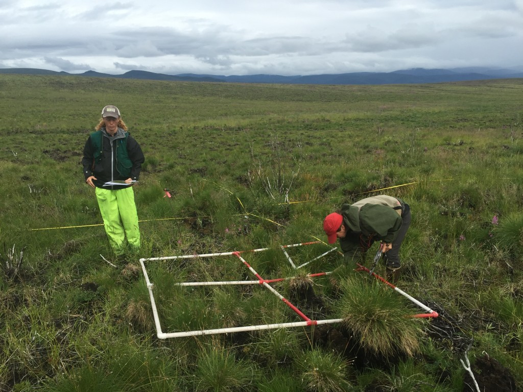 In addition to looking at the soils, researchers in Denali are studying what plants grow back after a severe fire in the tundra – and whether those plants are different from what was there before. Credit: Walker/NAU