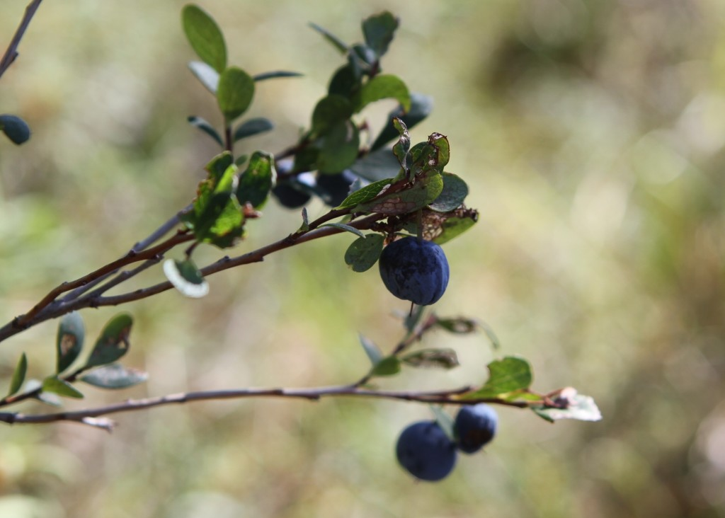 For many Alaskans, summer is time to stock freezers with blueberries. Credit: NASA/Kate Ramsayer