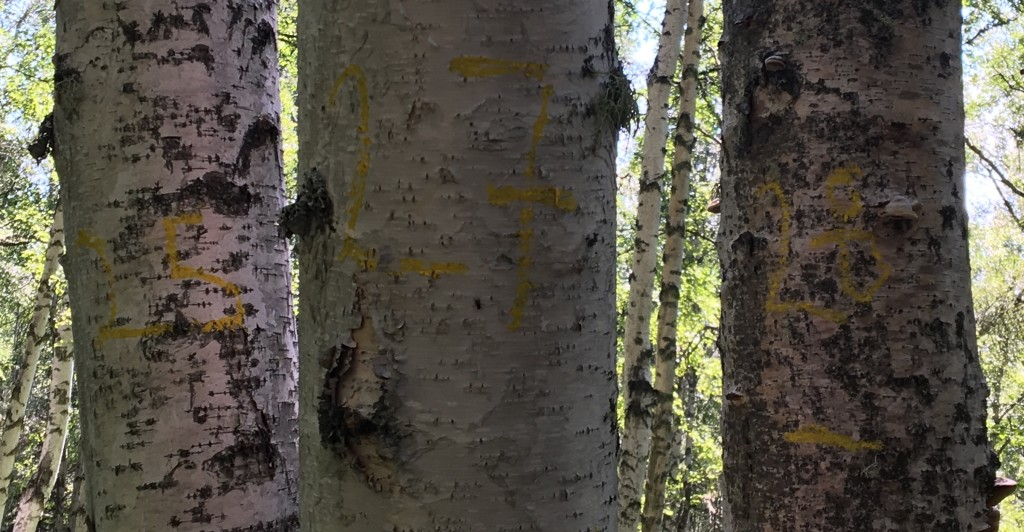 Birch trees, numbered in yellow, have been measured as part of the site survey. Credit: NASA/Kate Ramsayer