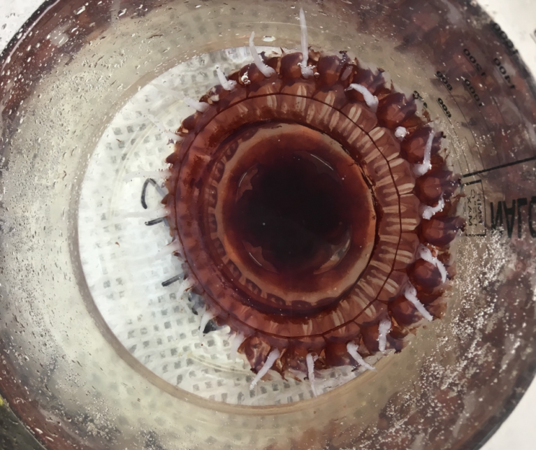 Large deep-sea jellies caught in the MOCNESS. Credit: Chandler Countryman