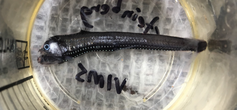 Viperfish caught in the MOCNESS. Notice its photophores running along the side. Credit: Chandler Countryman