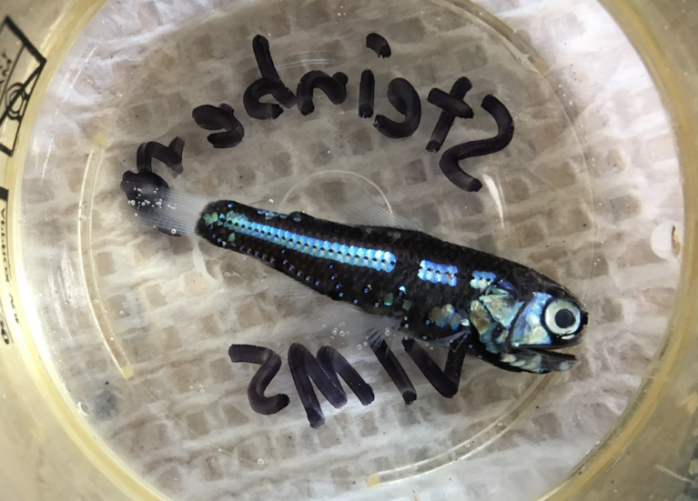 Lanternfish caught in the MOCNESS. Credit: Chandler Countryman