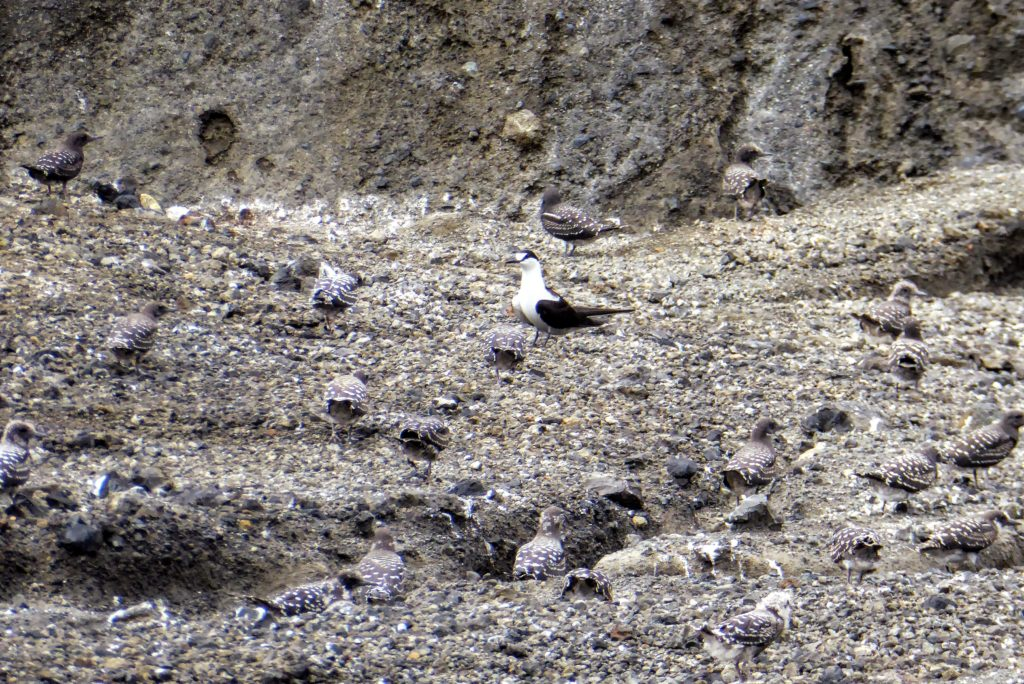 Sooty terns are nesting in the gullies around the crater lake. Can you spot the chicks? Credit: Dan Slayback