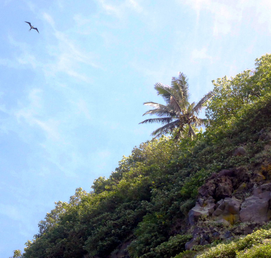 Frigatebird soaring over Hunga Tonga. Credit: NASA