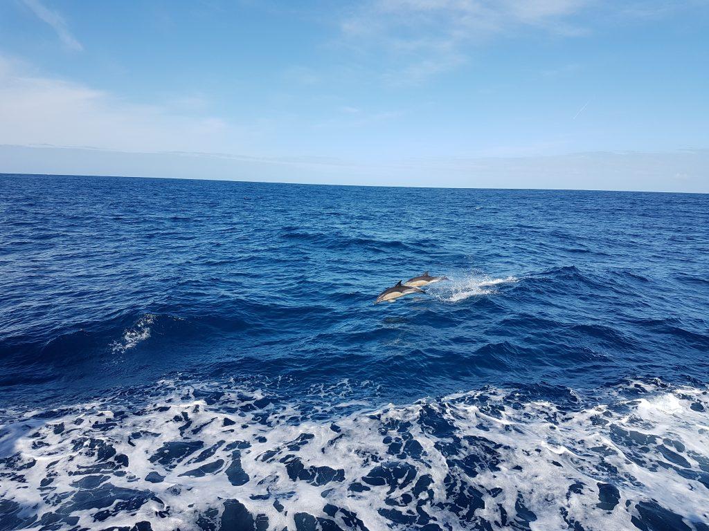 Common dolphins. Credit: Laetitia Drago