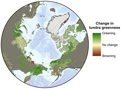 Earth-observing satellites have detected Arctic tundra becoming greener in recent decades as the growing seasons became warmer and longer. Landsat satellite observations indicate that about 22% of the Arctic became greener from 2000 to 2016, while 5% became browner. Adapted from Berner et al. (2020).