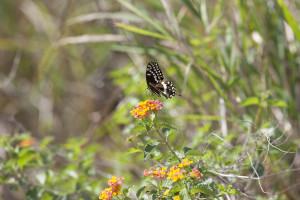 A black swallowtail butterfly enjoys a snack from a blooming lantana plant