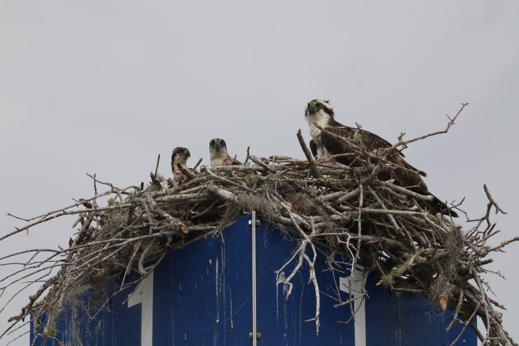 An adult osprey and two young offspring peer out of their nest, constructed atop a facility sign.