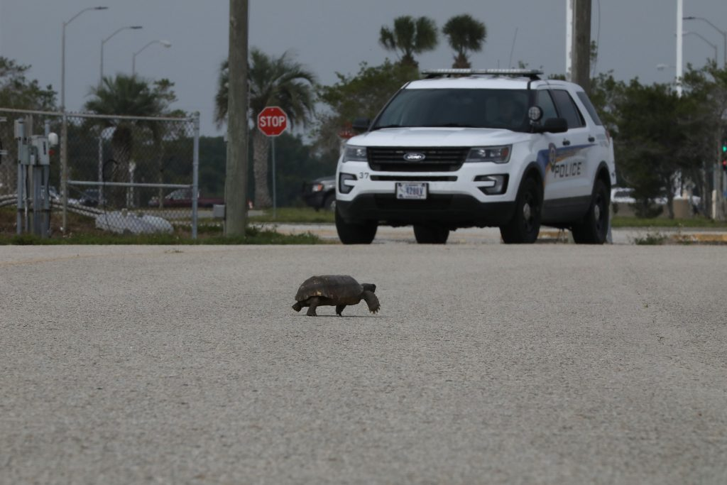 A gopher tortoise seems to stop traffic as it strolls across a street in front of a security vehicle at NASA's Kennedy Space Center in Florida on April 14, 2020.