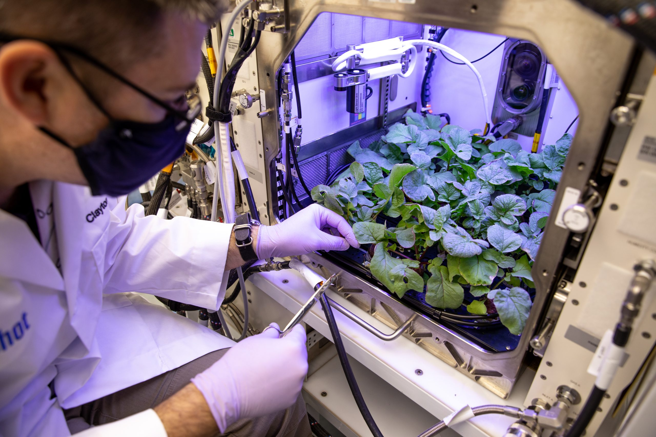 Radishes are harvested from the Advanced Plant Habitat ground unit at Kennedy Space Center.