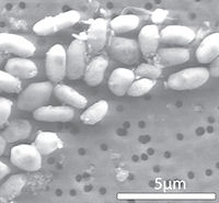 A microscopic image of GFAJ-1 grown on arsenic